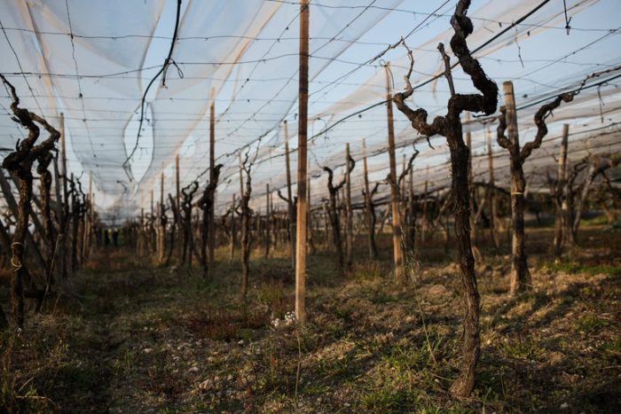 A Woman's Death Sorting Grapes Exposes Italy's 'Slavery'