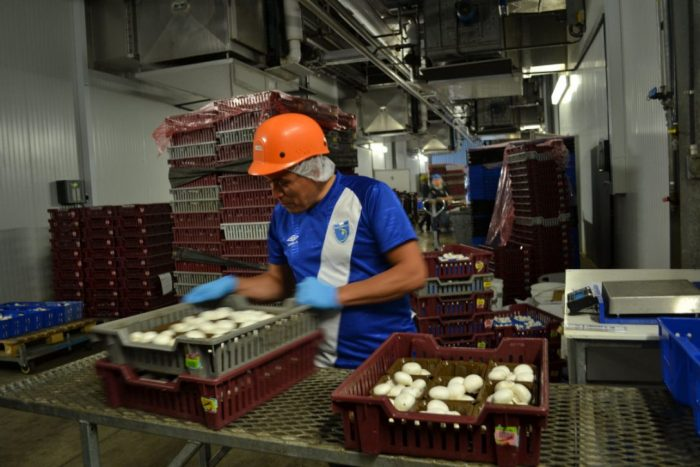 Migrant workers make up more than a quarter of the workforce in the Canadian mushroom industry, according to a new report. Photo Credit: Canadian Agricultural Human Resource Council / Lydia Schouten