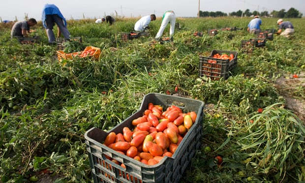 Farm workers pick tomatoes in southern Italy. The country's tomato industry is worth an estimated €3.2bn (£2.85bn). Photo Credit: Tony Gentile/Reuters