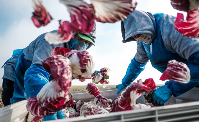 Picture showing migrant workers working on a lettuce farm.